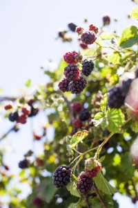 Ravens Creek berries 2